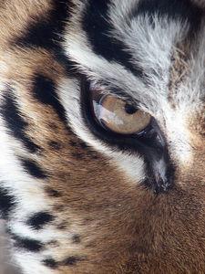 Whoot_768px-amur_tiger_panthera_tigris_altaica_eye_2112px_edit