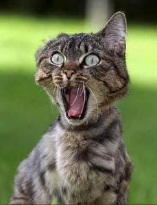 Whoot_med_funny-cat