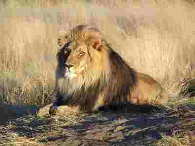 Whoot_lion_waiting_in_namibia