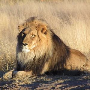 Whoot_temp_lion_waiting_in_namibia