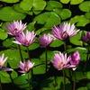 Big_water_lilies